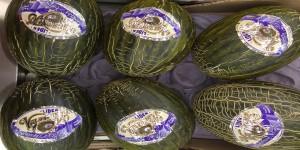 Melon standar